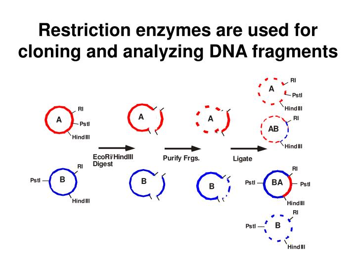 Restriction enzymes are used for cloning and analyzing DNA fragments