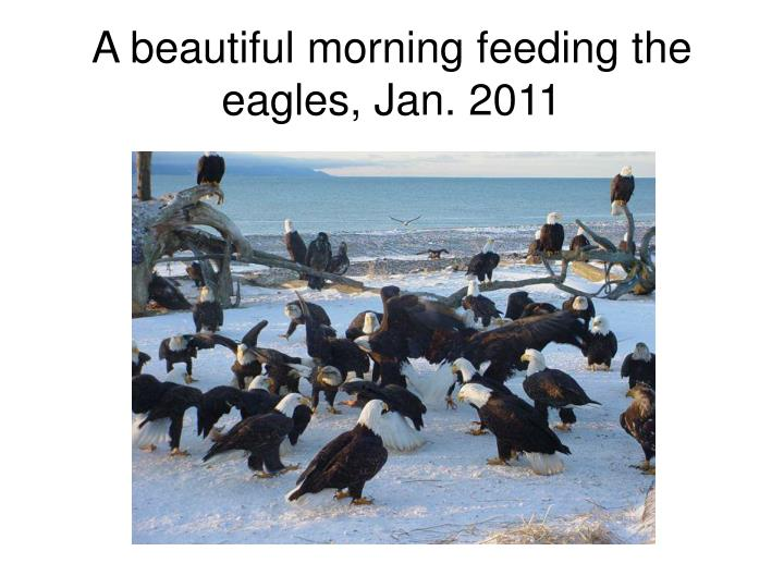 A beautiful morning feeding the eagles, Jan. 2011