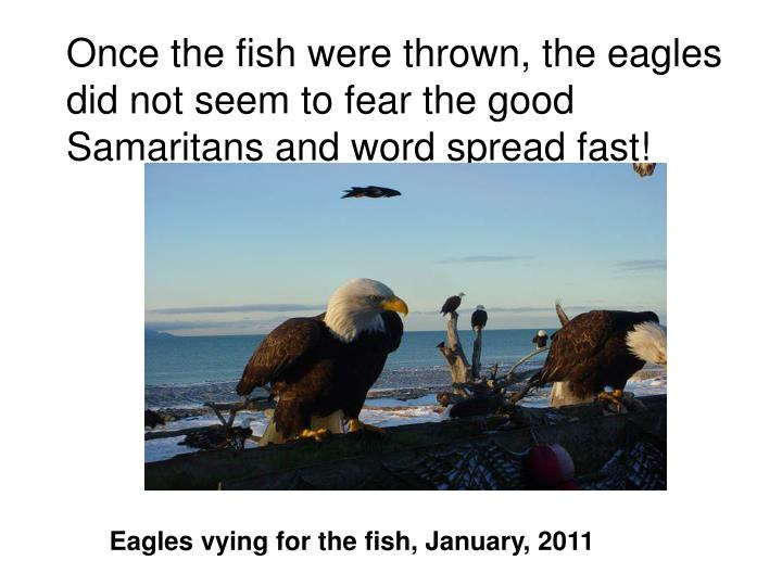 Once the fish were thrown, the eagles did not seem to fear the good Samaritans and word spread fast!