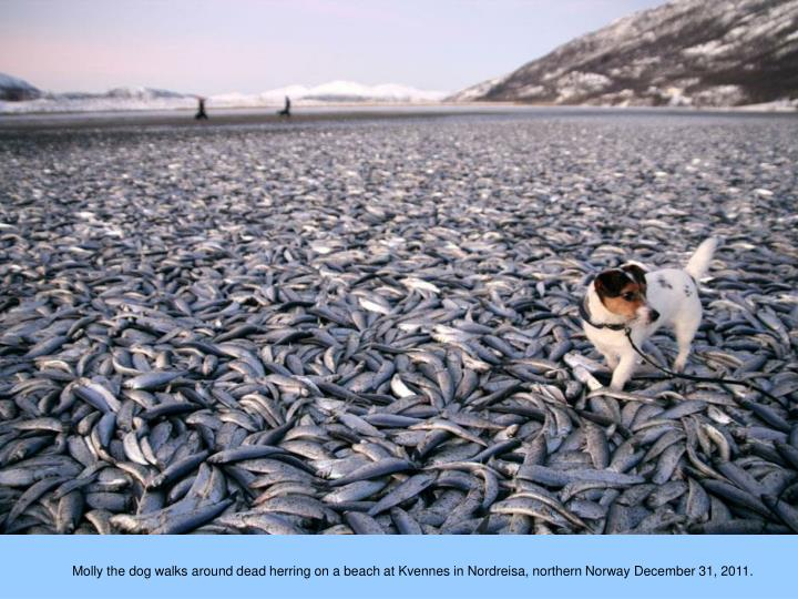 Molly the dog walks around dead herring on a beach at Kvennes in Nordreisa, northern Norway December 31, 2011.
