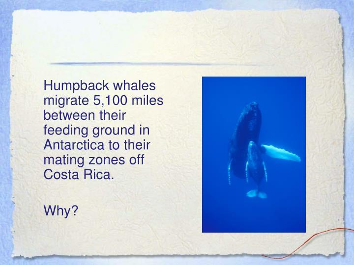Humpback whales migrate 5,100 miles between their feeding ground in Antarctica to their mating zones off Costa Rica.