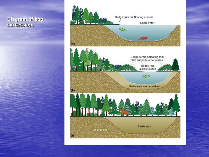 Diagram of bog succession.