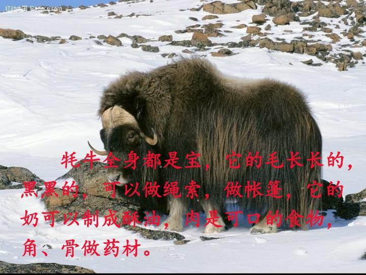 牦牛全身都是宝,它的毛长长的,黑黑的,可以做绳索,做帐篷,它的奶可以制成酥油,肉是可口的食物,角、骨做药材。