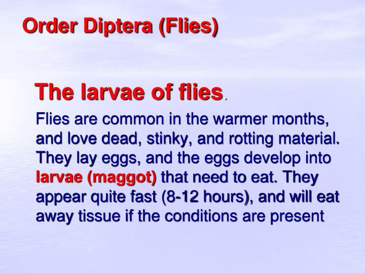Order Diptera (Flies)