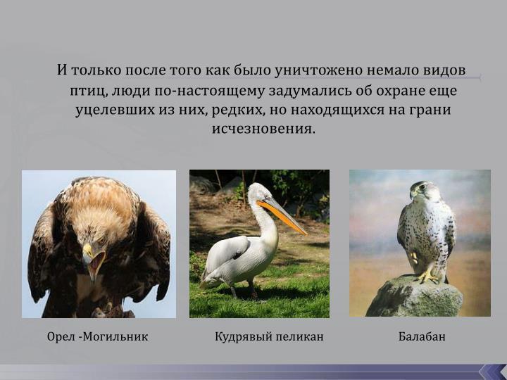 И только после того как было уничтожено немало видов птиц, люди по-настоящему задумались об охране еще уцелевших из них, редких, но находящихся на грани исчезновения.