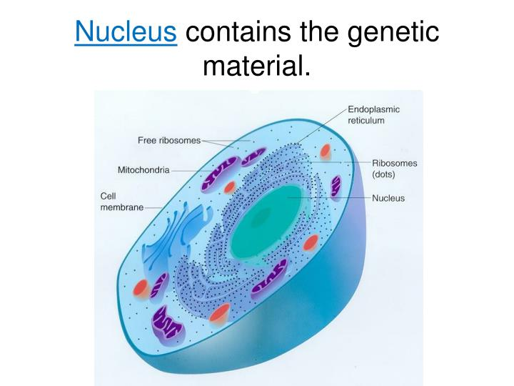 Nucleus contains the genetic material