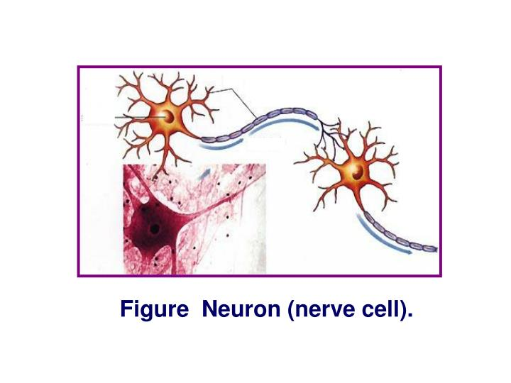 Figure  Neuron (nerve cell).