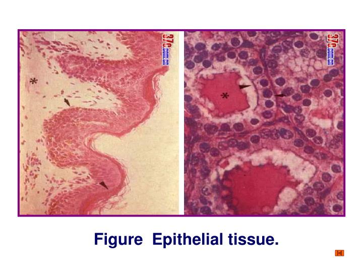 Figure  Epithelial tissue.