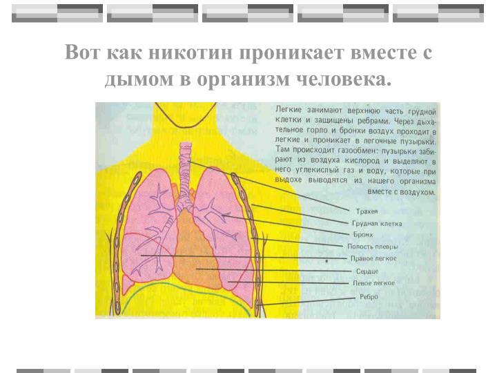 Вот как никотин проникает вместе с дымом в организм человека.