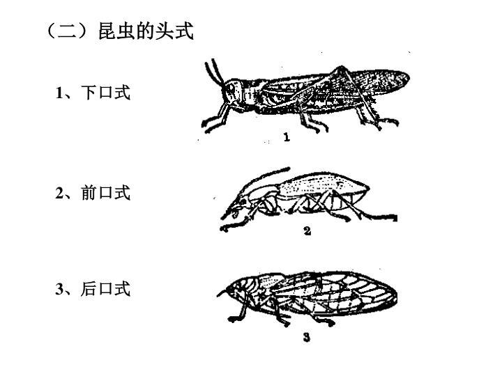 (二)昆虫的头式