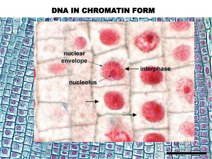 DNA IN CHROMATIN FORM