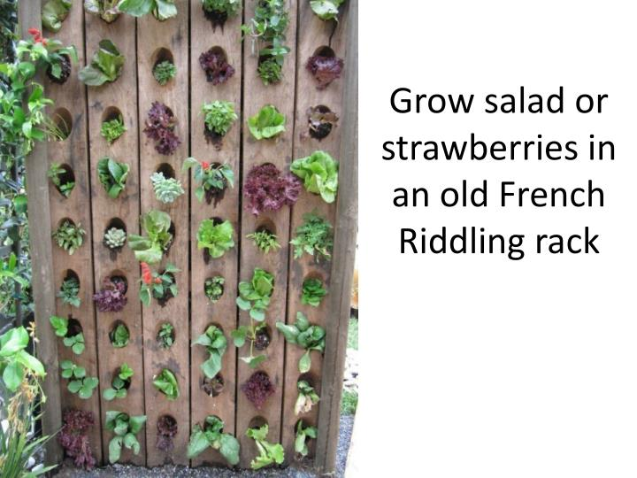 Grow salad or strawberries in an old French Riddling rack