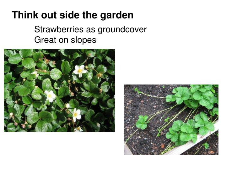 Strawberries as groundcover