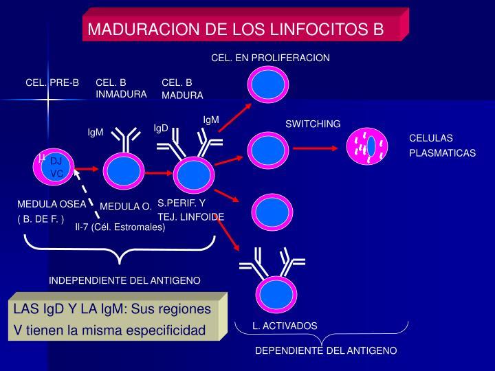 MADURACION DE LOS LINFOCITOS B