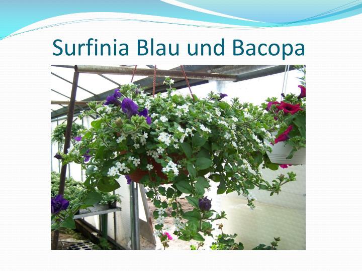 Surfinia Blau und Bacopa