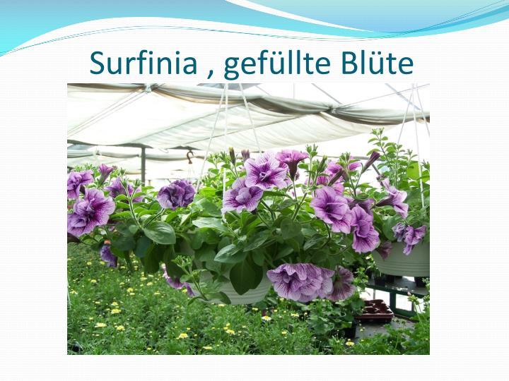 Surfinia , gefüllte Blüte
