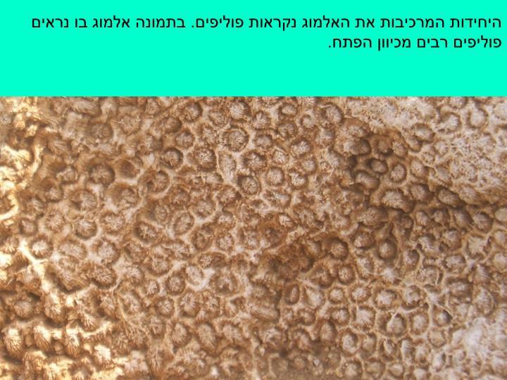 היחידות המרכיבות את האלמוג נקראות פוליפים. בתמונה אלמוג בו נראים פוליפים רבים מכיוון הפתח.