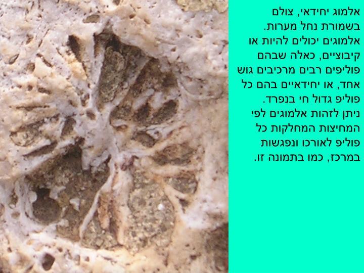 אלמוג יחידאי, צולם בשמורת נחל מערות.