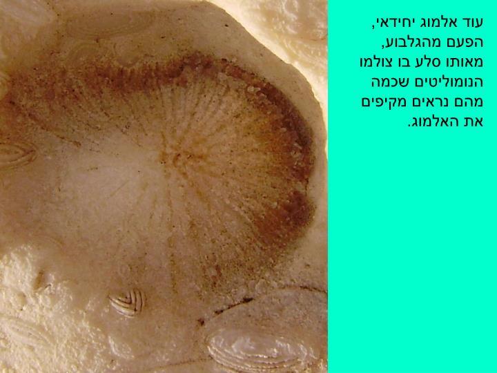 עוד אלמוג יחידאי, הפעם מהגלבוע, מאותו סלע בו צולמו הנומוליטים שכמה מהם נראים מקיפים את האלמוג.