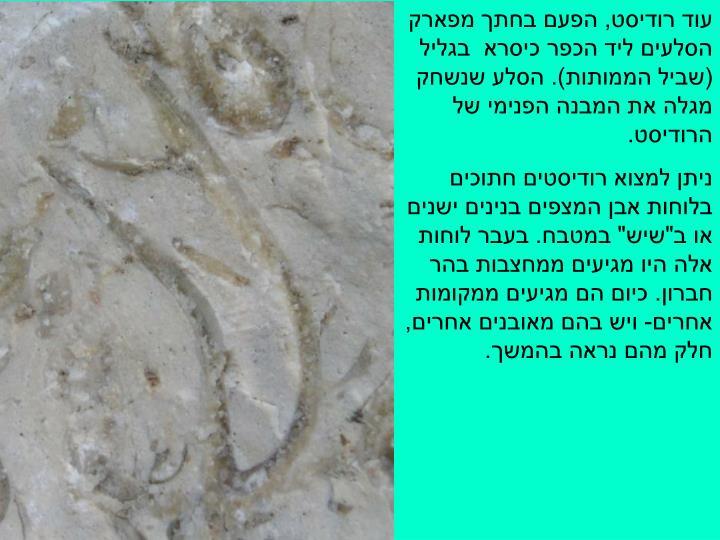 עוד רודיסט, הפעם בחתך מפארק הסלעים ליד הכפר כיסרא  בגליל (שביל הממותות). הסלע שנשחק מגלה את המבנה הפנימי של הרודיסט.