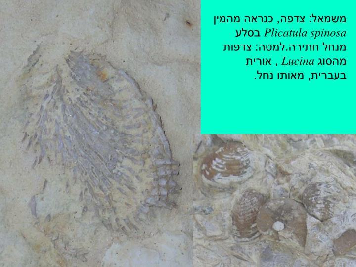 משמאל: צדפה, כנראה מהמין