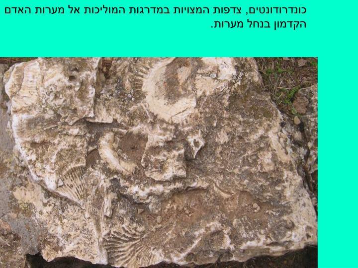 כונדרודונטים, צדפות המצויות במדרגות המוליכות אל מערות האדם הקדמון בנחל מערות.