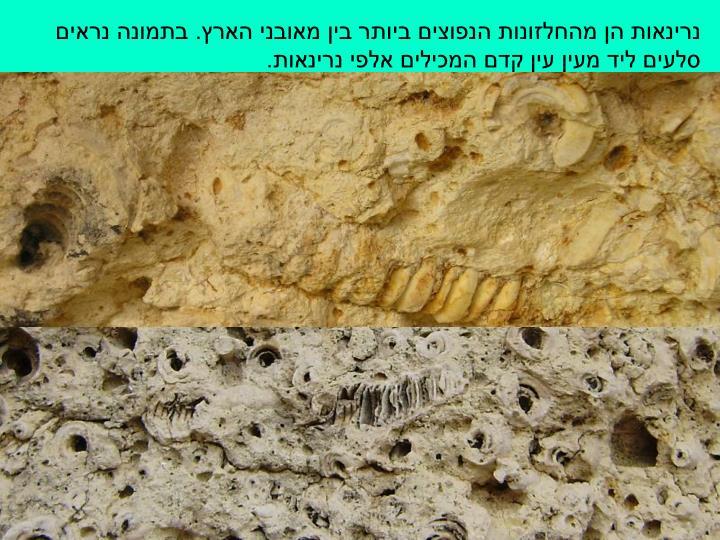נרינאות הן מהחלזונות הנפוצים ביותר בין מאובני הארץ. בתמונה נראים סלעים ליד מעין עין קדם המכילים אלפי נרינאות.