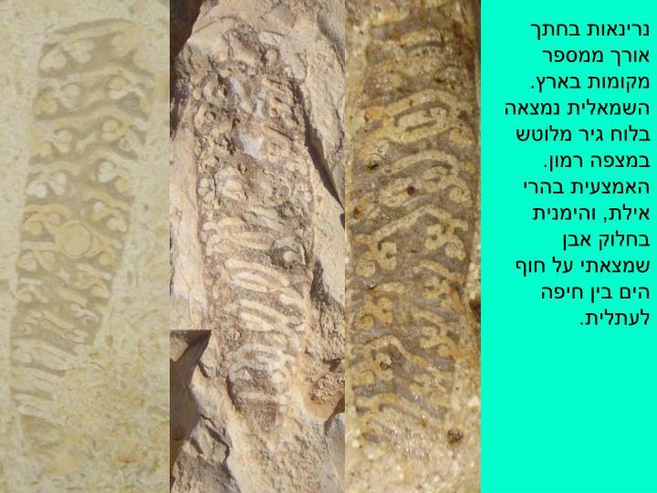 נרינאות בחתך אורך ממספר מקומות בארץ. השמאלית נמצאה בלוח גיר מלוטש במצפה רמון. האמצעית בהרי אילת, והימנית בחלוק אבן שמצאתי על חוף הים בין חיפה לעתלית.