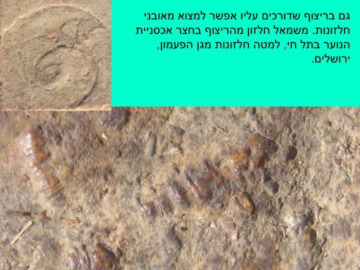 גם בריצוף שדורכים עליו אפשר למצוא מאובני חלזונות. משמאל חלזון מהריצוף בחצר אכסניית הנוער בתל חי, למטה חלזונות מגן הפעמון, ירושלים.