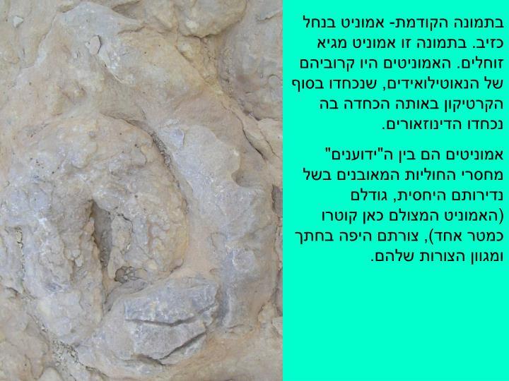 בתמונה הקודמת- אמוניט בנחל כזיב. בתמונה זו אמוניט מגיא זוחלים. האמוניטים היו קרוביהם של הנאוטילואידים, שנכחדו בסוף הקרטיקון באותה הכחדה בה נכחדו הדינוזאורים.