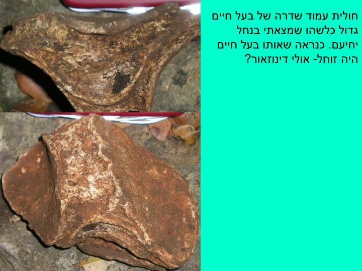 חולית עמוד שדרה של בעל חיים גדול כלשהו שמצאתי בנחל יחיעם. כנראה שאותו בעל חיים היה זוחל- אולי דינוזאור?