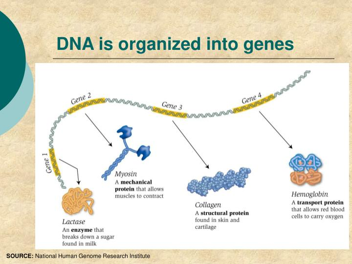 DNA is organized into genes