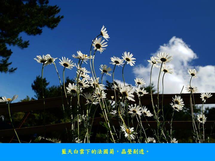 藍天白雲下的法國菊,晶瑩剔透。