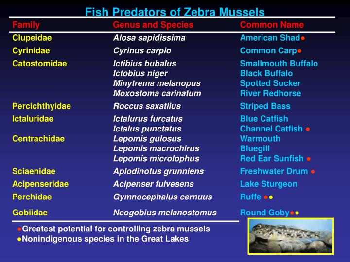 Fish Predators of Zebra Mussels