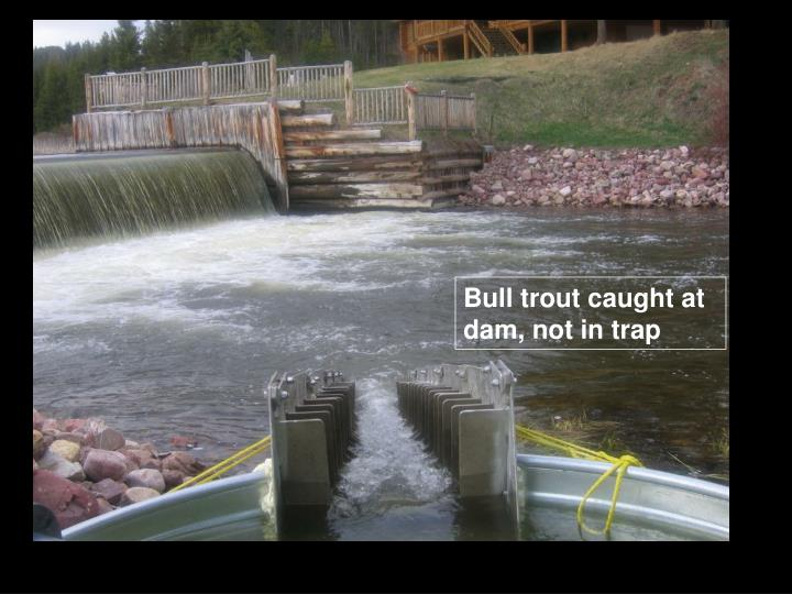 Bull trout caught at dam, not in trap