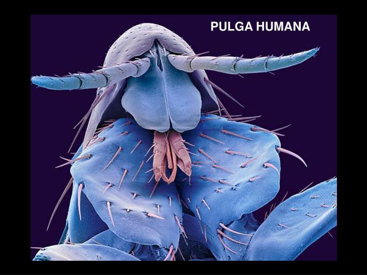 PULGA HUMANA