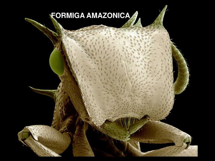FORMIGA AMAZONICA