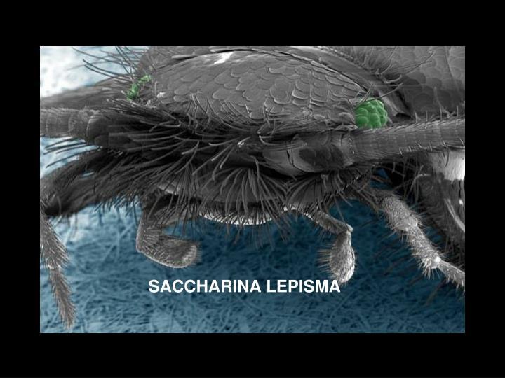 SACCHARINA LEPISMA