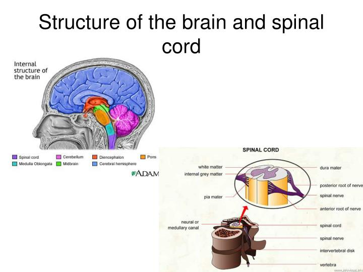 Structure of the brain and spinal cord