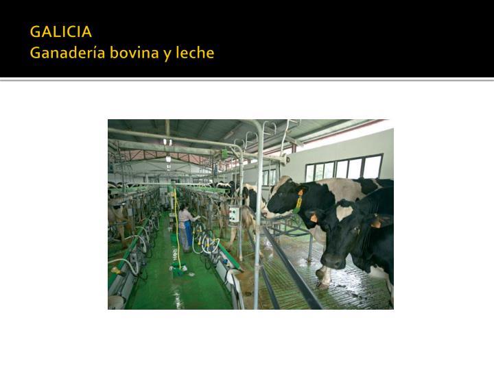 Galicia ganader a bovina y leche
