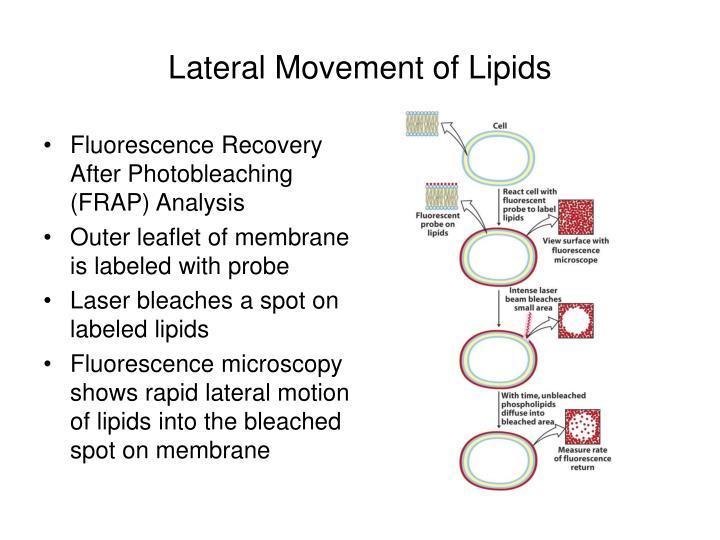 Lateral Movement of Lipids