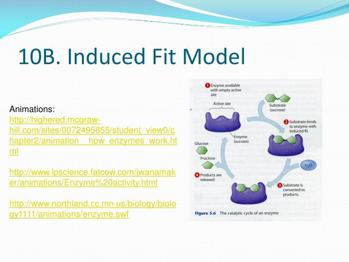 10B. Induced Fit Model