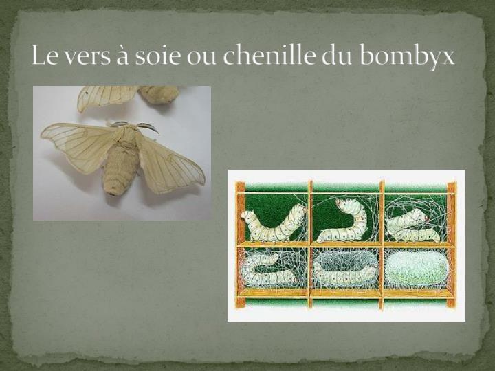 Le vers à soie ou chenille du bombyx