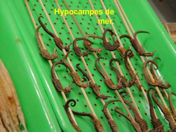 Hypocampes de mer.