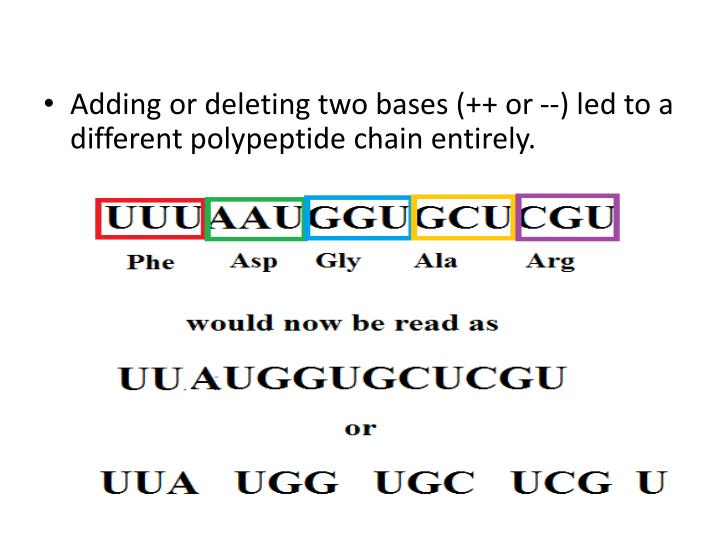 Adding or deleting two bases (++ or --) led to a different polypeptide chain entirely.
