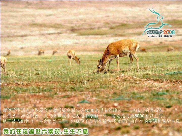 藏羚羊生活在世界屋脊青藏雪域高原海拔