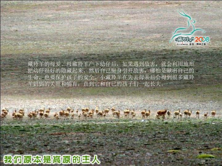 藏羚羊的母爱。母藏羚羊产下幼仔后,如果遇到敌害,就会利用地形