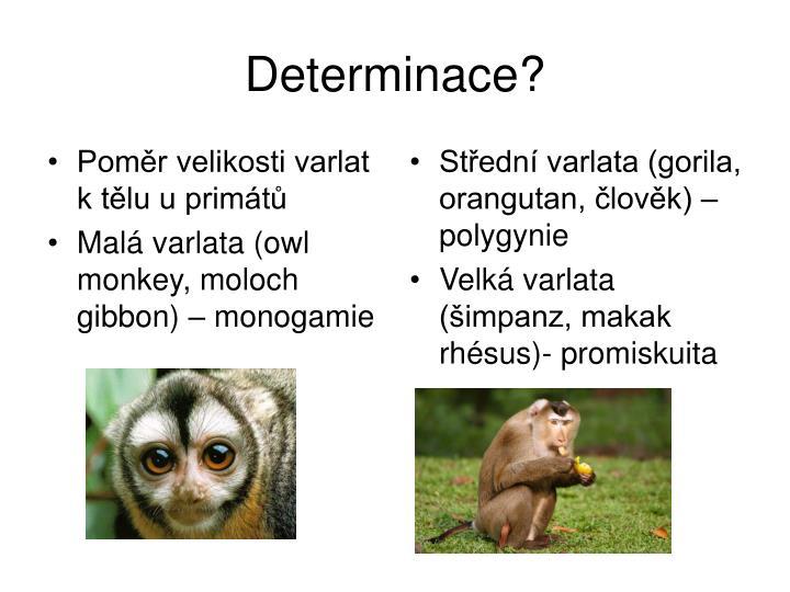Poměr velikosti varlat k tělu u primát