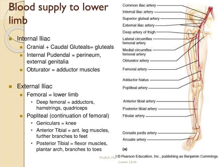 Blood supply to lower limb