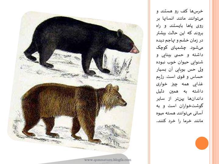 خرسها کف رو هستند و میتوانند مانند انسانها بر روی پاها بایستند و راه بروند که این حالت بیشتر در زمان خشم و تهاجم دیده میشود. چشمهای کوچک داشته و حسی بینایی و شنوایی حیوان خوب نبوده ولی حس بویایی آن بسیار حساس و قوی است. رژیم غذایی همه چیز خواری داشته به همین دلیل داندانها پهنتر از سایر گوشتخواران است و به آسانی میتوانند هسته میوه مانند خرما را خرد کنند
